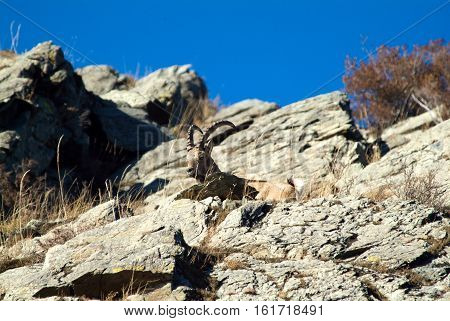 Capricorn climbs the mountain in russia taiga