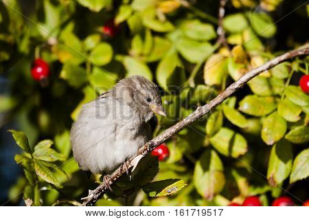 a female house sparrow in a shrub