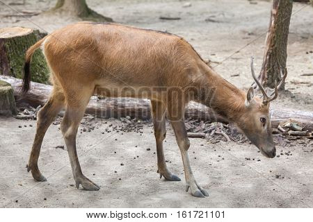 Pere David's deer (Elaphurus davidianus), also known as the milu.