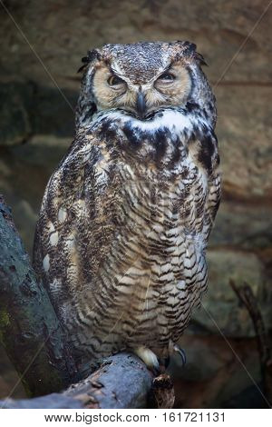 Great horned owl (Bubo virginianus), also known as the tiger owl.