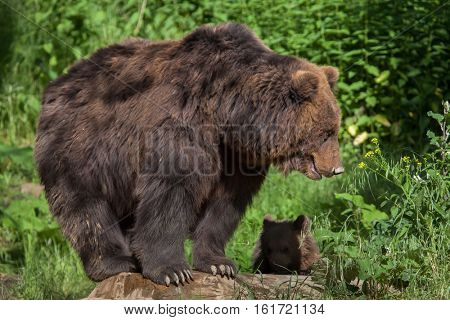 Newborn Kamchatka brown bear (Ursus arctos beringianus), also known as the Far Eastern brown bear with its mother.