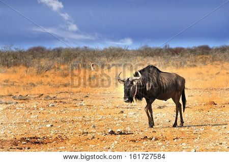 A lone Blue Wildebeest walking across the dry Etosha pan in Namibia, Southern Africa