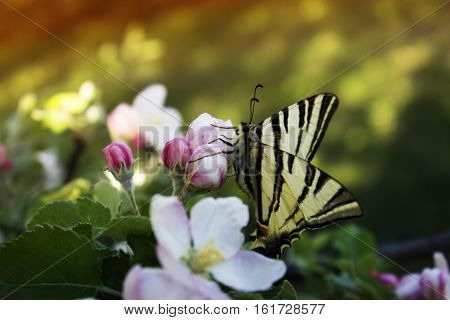 butterfly drinking nectar on white flowers. Close up butterfly and apple tree flowers. Close up of butterfly on white-pink blossom apple tree