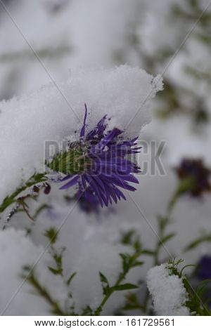 faded purple flower covered with snow in late fall