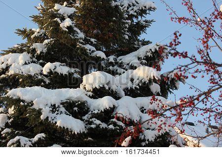 Crab Apple Drupes and fresh white snow making a pretty scene in Hoffman Estates, Illinois