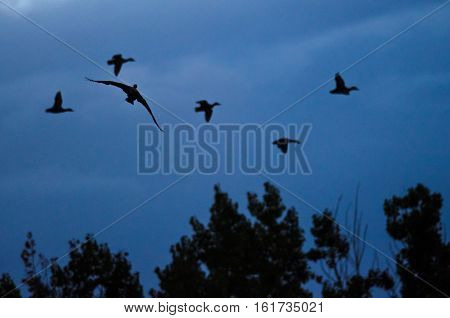 Silhouetted Cormorant Flying Among Flock of Ducks in the Evening Sky