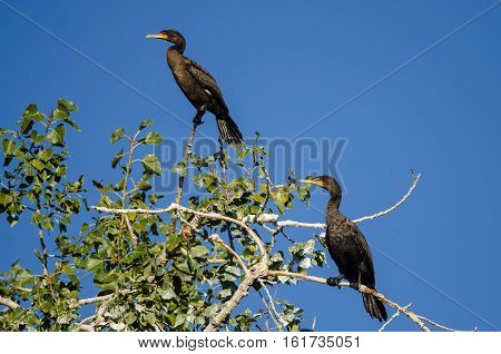 Pair of Double-Crested Cormorants Perched High in a Tree