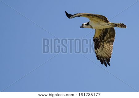 Lone Osprey Flying in a Clear Blue Sky