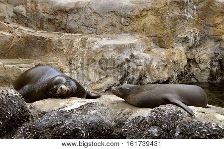 Two Sea lions Latin name zalophus californianus