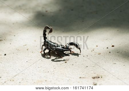 Emperor Scorpion or black scorpion ( Pandinus imperator) on concrete background