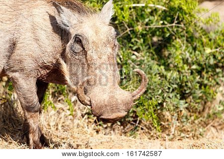 Warthog Standing With His Turn Up Horns
