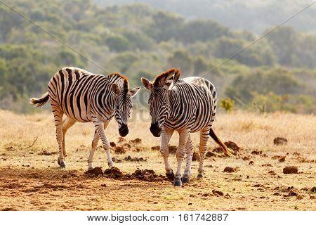 Burchells Zebras Walking Together