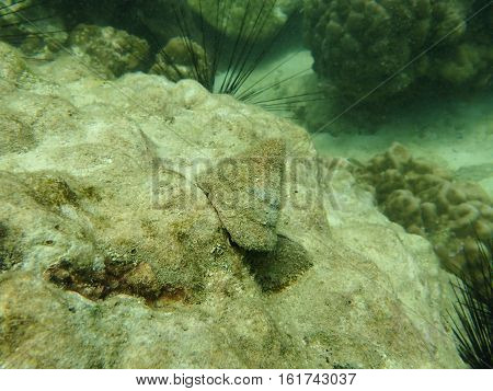 Top shell (Trochus niloticus) grazing on the substrate in the coral reef