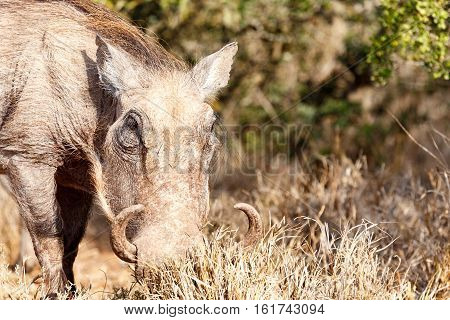 Warthog Digging In The Grass