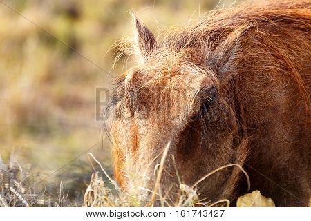 Warthog With His Head In The Grass