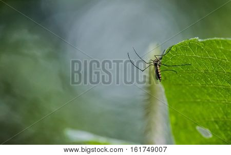 Black Mosquito on green leaf in nature background.