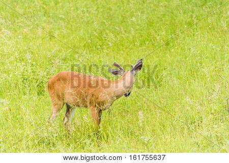 One horned deer grazing in sunny meadow