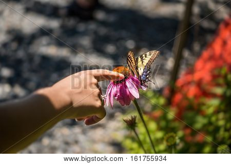 Womans fingers touching butterfly on echinacea flower