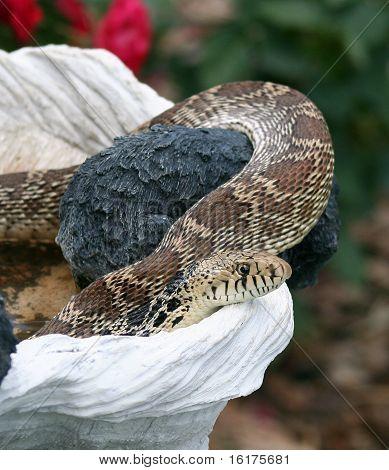 Gopher Snake in Birdbath