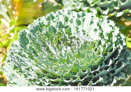 BRASSICACEAE Cabbage or Common Cabbage in the garden