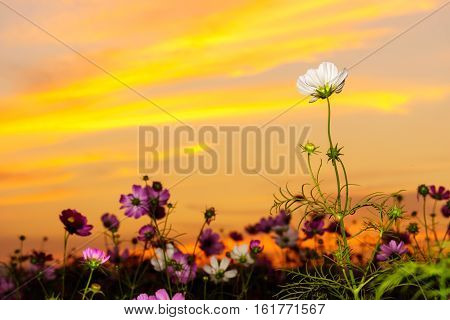 White Cosmos On Field In Twilight