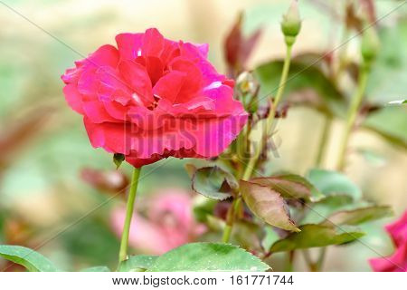 Red Rose On Tree Branch