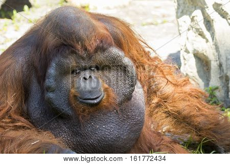 Image of a big male orangutan orange monkey on natural background. Wild Animals.