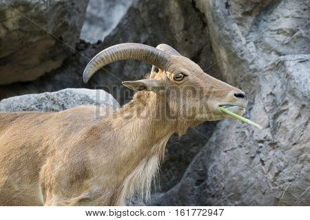 Image of a mountain goats standing on a rock and eating grass.