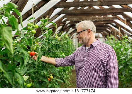 farming, gardening, agriculture, old age and people concept - senior man or farmer growing tomatoes at greenhouse on farm
