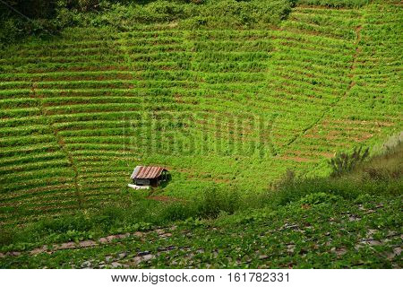 Little hut middle Cabbage field at Mon Cham in Chiang Mai, Thailand