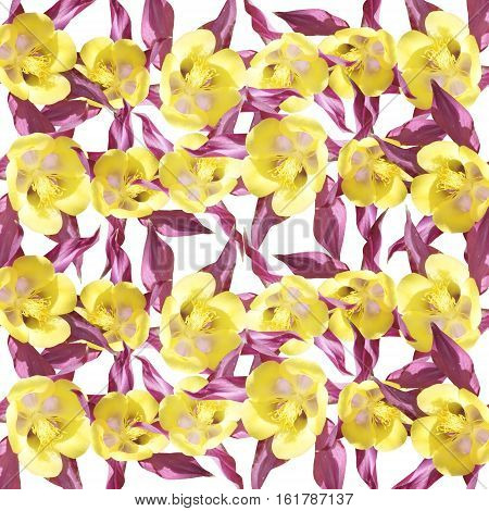 Beautiful summer background of flowers Aquilegia. Isolated