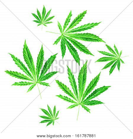 Bright Green Cannabis Sativa Leaves Painted In Watercolor. Hand Drawn Marijuana Illustration Isolate
