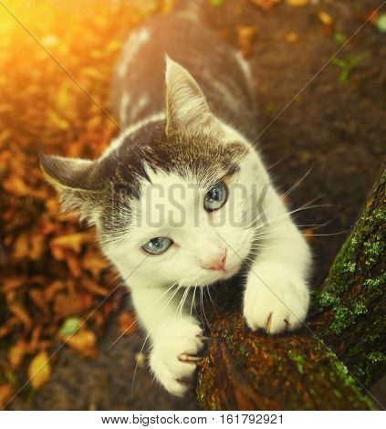 blue eyed siberian cat sharpen its claws agains the tree outdoor autumn country photo