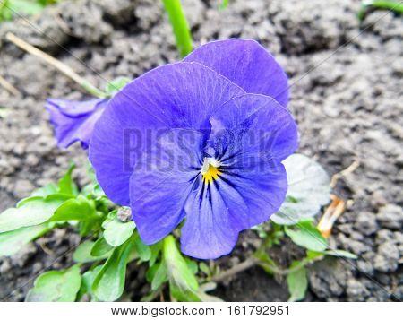 viola flower in garden on summer day