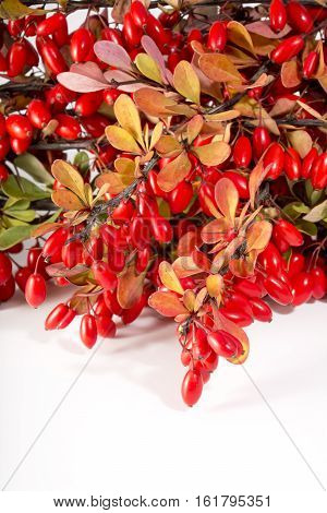 Barberry twigs of red berries on a white background. Ripe fruit of barberry in autumn.