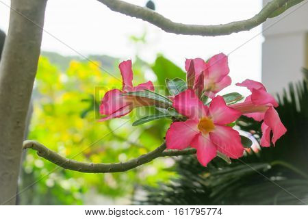 Pink mock azalea flowers. Pink lily flowers and nature background