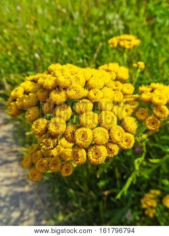 Tansy flowers (Tanacetum vulgare Cow Bitter Mugwort)