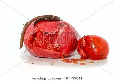 Two Rotten Tomatoes With A Large Worm Isolated On White