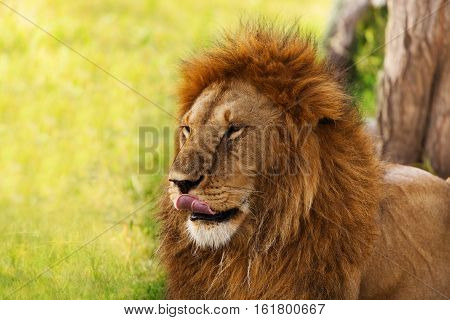 Close-up portrait of an old lion licking his lips, Kenya, Africa