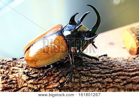 Handmade ,the Beautiful Beetle Staffing ,staffed Five Horns Beetle ,male ,with Glossy Yellow Wing Ca