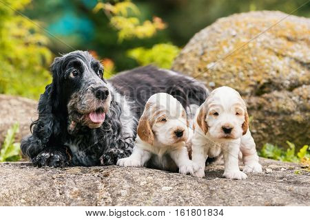 English Cocker Spaniel caring female mother with two small puppies 24 days old dogs outdoor on garden rock. Mother love concept.