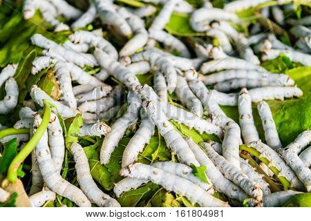Silkworms close up on a mulberry leaf