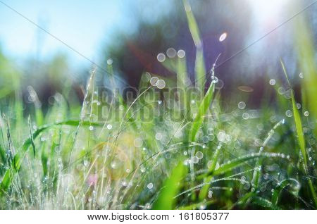 Green Grass With Dew Drops Suitable For Backgrounds Or Wallpapers,