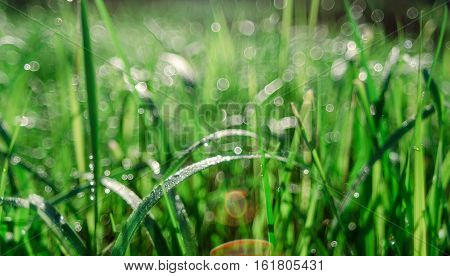 Сloseup Of Fresh Green Spring Grass With Dew Drops Suitable