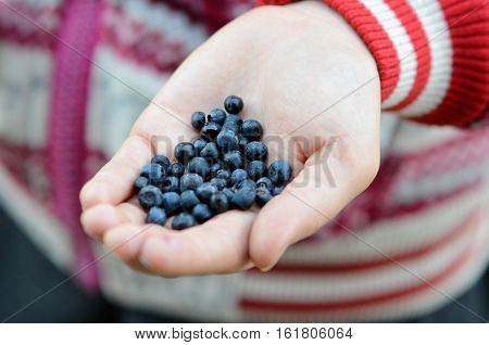 Close-up Of Blueberries On A Human Palm.