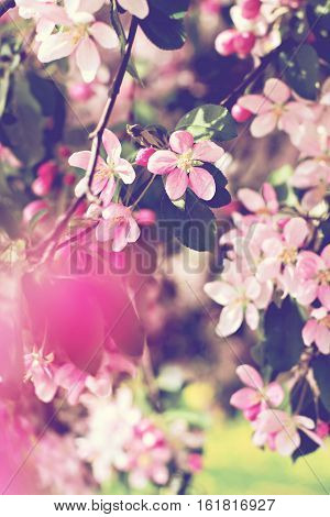 Cherry tree flowers. Spring pink flowers on a tree branch. cherry tree in bloom. Spring seasons time of year. Spring cherry blossoms