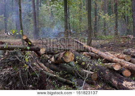 Oak stump, result of tree felling. Total deforestation, cut forest. Tractor fire