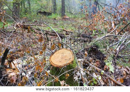 Oak stump, result of tree felling. Total deforestation, cut forest. Tractor fire