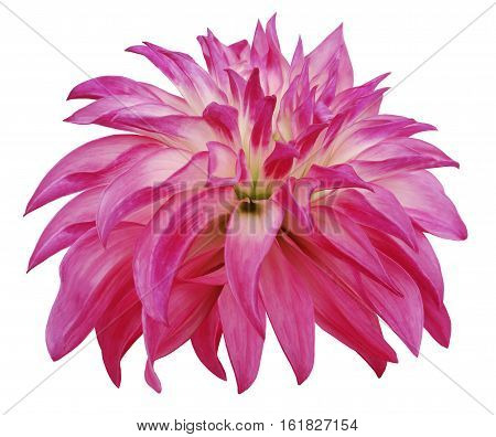 pink big flower on a white isolated background with clipping path. Side view. Closeup. big shaggy flower. for design. Dahlia..