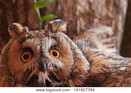 Long-eared owl against a tree in nature